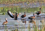 Black-bellied Whistling Ducks - Dendrocygna autumnalis