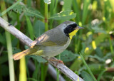 Common Yellowthroat - Geothlypis trichas