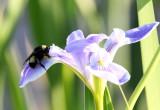 American Bumble Bee - Bombus pensylvanicus