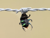 Rainbow Scarab - Phanaeus vindex (stuck on barb wire by a Loggerhead Shrike)
