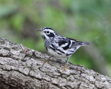 Black and White Warbler - Mniotilta varia