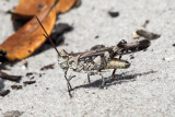 Longhorn Band-wing Grasshopper - Psinidia fenestralis