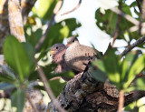 Common Ground-Doves - Columbina passerina