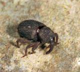 Anchonus suillus