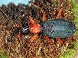 Ground Beetles - Tribe Galeritini