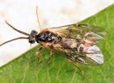 Pristiphora mollis