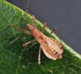 Hoplistoscelis pallescens