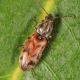 Three-spotted Click Beetle - Pseudanostirus triundulatus
