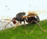 Gall Wasp - Cynipidae