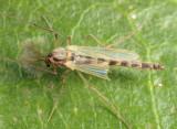Chironomus sp.