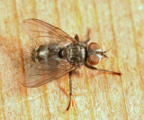Tachinidae - Lypha sp.