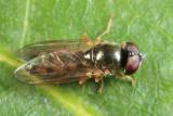 Platycheirus sp.