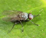 Root-Maggot Fly - Anthomyiidae - Leucophora sp.