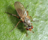 Scathophagidae