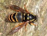 Ground Hornet - Vespula vidua