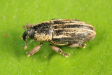 Barinus cribricollis