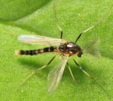 Cricotopus sp.