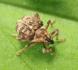 Pelenomus sulcicollis