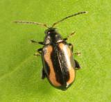 Striped Flea Beetle - Phyllotreta striolata