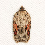 3509 - Acleris ptychogrammos
