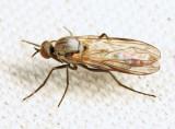Rhamphomyia sp. (subgenus Megacyttarus)