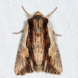 10520 - Bicolored Woodgrain - Morrisonia evicta