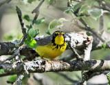 Canada Warbler - Cardellina canadensis