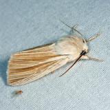 9280 - Cattail Caterpillar Moth - Simyra insularis