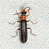 Dichelotarsus simplex
