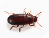 Larger Black Flour Beetle - Cynaeus angustus