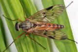 Rhagio scolopaceus