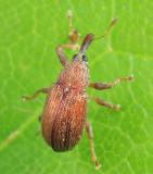 Pseudanthonomus rufulus