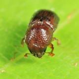 Alnus Ambrosia Beetle - Xylosandrus germanus