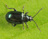 Elm Flea Beetle - Altica ulmi