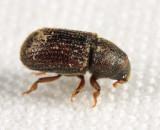 Native Elm Bark Beetle - Hylurgopinus rufipes