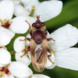 Myopa vesiculosa
