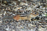 Eastern Chipmunk - Tamias striatus