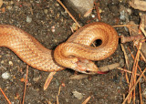 Northern Red-bellied Snake - Storeria occipitomaculata occipitomaculata