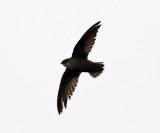 Chimney Swift - Chaetura pelagica