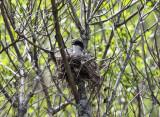 Eastern Kingbird - Tyrannus tyrannus (on nest)