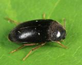 Eustrophopsis bicolor