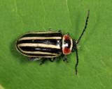 Disonycha pensylvanica