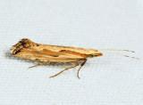 2363 - Dame's Rocket Moth - Plutella porrectella