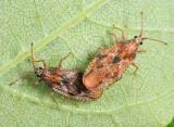 Physatocheila variegata