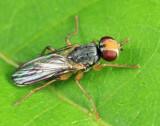 Cordylurella sp.