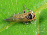 Javesella pellucida (male)