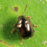Spintherophyta globosa