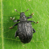 Apple Flea Weevil - Orchestes pallicornis