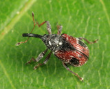 Strawberry Bud Weevil - Anthonomus signatus