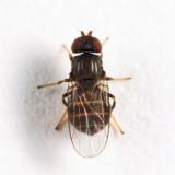 Tricimba sp.